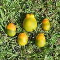 hlb defprmed citrus