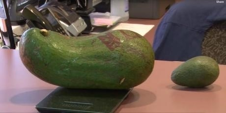 avocado fruit 6 pounds