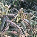 heat damage to avocado leaves