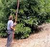 avocado pruning