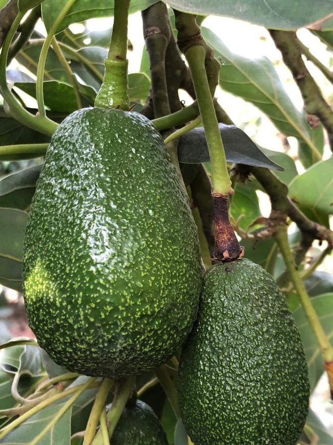 avocado heat to stem