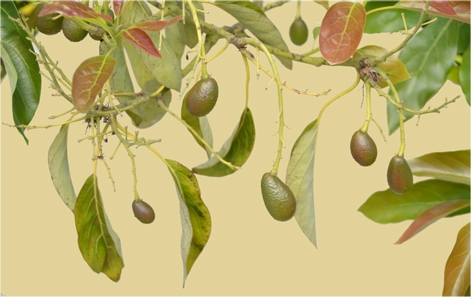 avocados on a tree picture