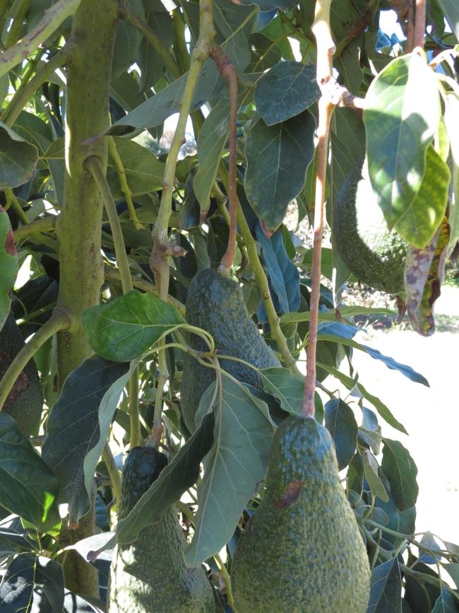 avocado stem damage frost