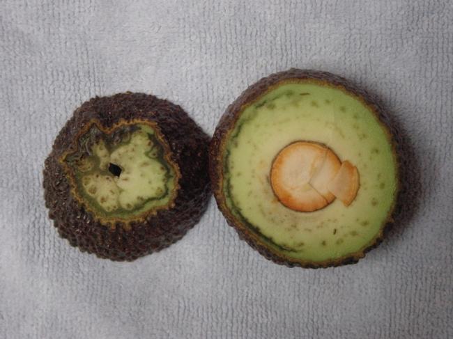 avocado vascular bundles frost