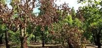 laurel wilt trees for Topics in Subtropics Blog