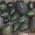 avocado varieities numbered
