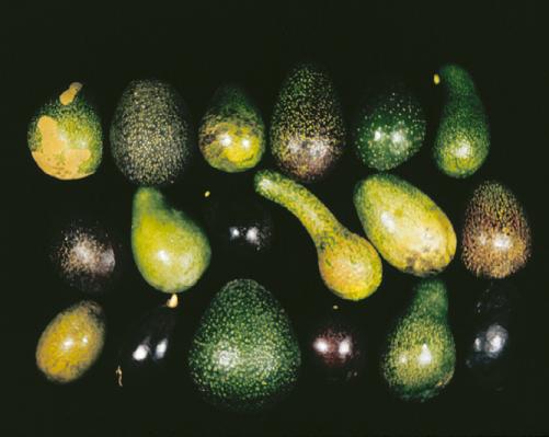 avocado vars mex guat west