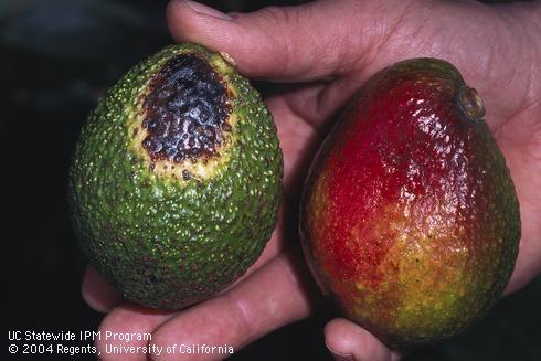 avocado sunburn fruit