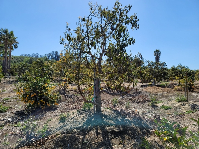 avocado defoliating