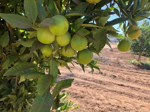 citrus hybrid