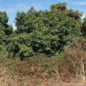 weeds bordering avocado orchard