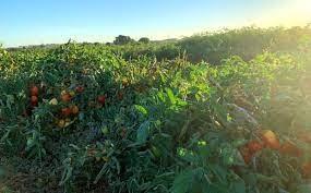 tomato images