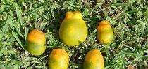 hlb defprmed citrus for Topics in Subtropics Blog