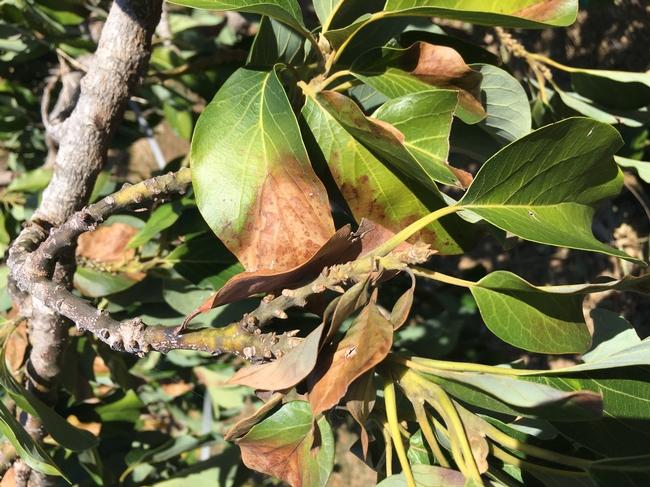 avocado aspyhxiation