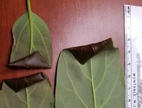 leaf roller avocado