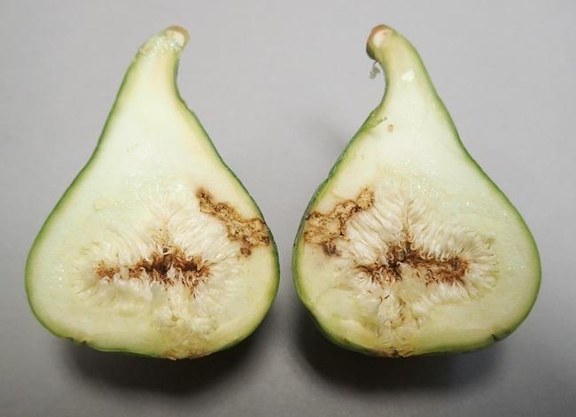 black fig fly damage