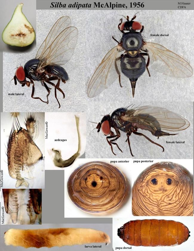 black fig fly images