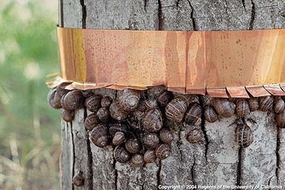 snails copper band