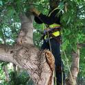 pruning tree 3