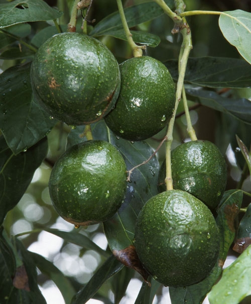 Some growers are reconsidering avocado production.