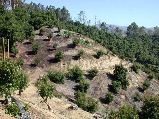 Avocados planted on steep slopes.