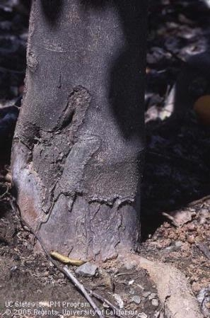 Bark damage (Fig. 3)