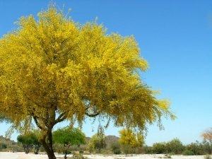 Beautiful Palo Verde in Bloom