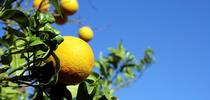 Citrus pic Flyer for UCCE Riverside County Blog
