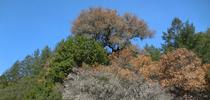 Large coast live oak with sudden oak death disease in an eastern Sonoma County oak woodland for UCCE Sonoma Blog