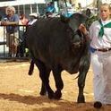 Showing Beef at SCF