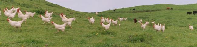 White hens pasture