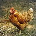 hen-farmyard-farm-bird-50992