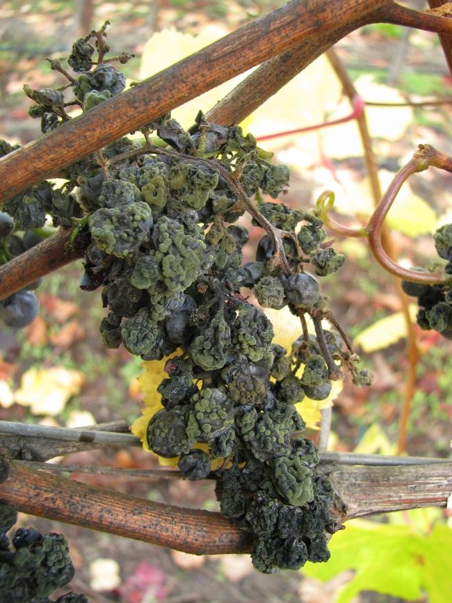 Cladosporium infected Pinot noir