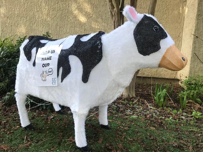 Mackenzie the Moo Cow