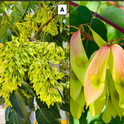 "Figure 2. Female trees can produce more than 300,000 red, yellow and green ""samaras"" that each contain one seed covered by a winged and papery tissue used in wind dispersal. Credit: Cindy R. Kron, UC IPM."