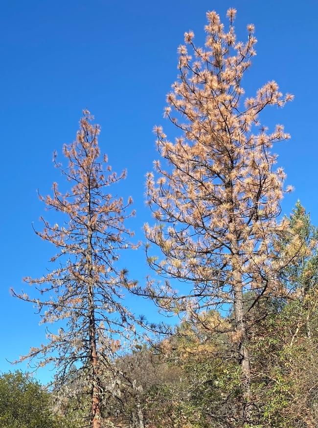 Dead ponderosa pine - MJones