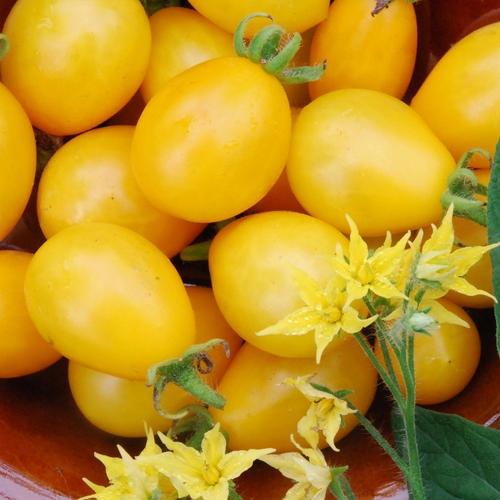 Grape Tomatoes image courtesy of plant world