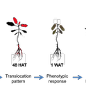 Translocation of glyphosate