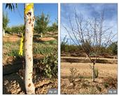 Figure. 1 Herbicide damage in 2nd leaf almonds. Glufosinate + Glyphosate (1.5 + 2.75lbs/ac). Fig. 1A shows trunk gummosis observed 5 weeks after treatment. Fig. 1B shows complete defoliation of the same tree 12 weeks after treatment.