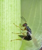 The arundo wasp curls its abdomen as it prepares to 'sting' or lay eggs in an arundo shoot tip.