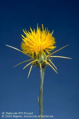 Yellow starthistle flower at full bloom stage.repository