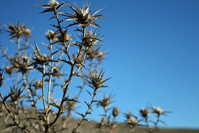Wooly distaff thistle skeletons haunt the skylines of the northern Coast Range