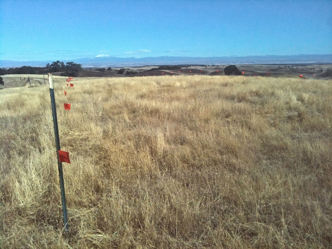 Barb goatgrass site near Red Bluff