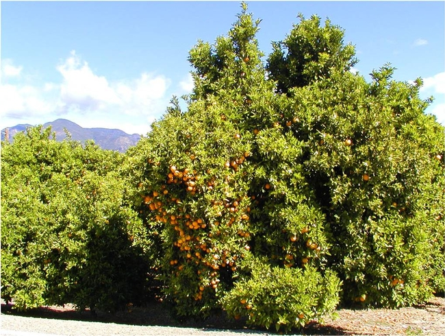 simazine degradation in citrus orchards   UCD Weed Science BDH