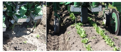 The Tillet Weeder is a commercially available mechanical weed control machine that uses computer technology and a spinning blade to remove weeds. The disc-shaped cultivation blades are lifted up so you can observe the notched cut-out that allows the blade to spin around crop plants. Thinning lettuce.