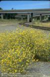 Mature yellow starthistle plants alongside a freeway