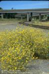 Mature yellow starthistle plants alongside a freeway