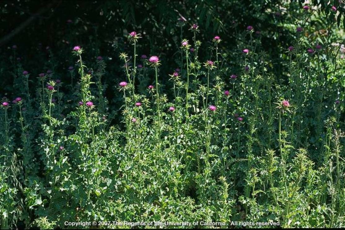 The Big Three Purple Thistles Uc Weed Science Anr Blogs