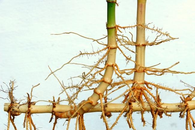 running bamboo   from bamboobotaticals online