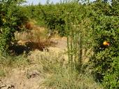 Horseweed and hairy fleabane
